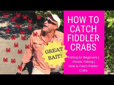 Fishing For Beginners   Fishing Florida   How To Catch Fiddler Crabs