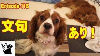犬(キャバリア)の面白可愛い動画ビデオ日記。 お互いに嫉妬して、しか...