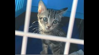 Kitten Maggie Needs An Enema - #5 - Tapeworm Complications