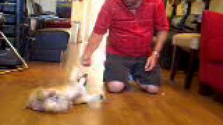 Pembrokd Welsh Corgi Yogi Doing Tricks  Tricks 030.mov