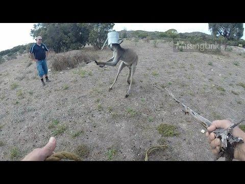 Giant kangaroo - head stuck in watering can!
