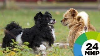 Бассет-гриффоны и коикерхондье: как выводят новые породы собак - МИР 24