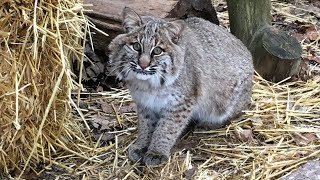 This beautiful bobcat is getting another chance at life in the wild