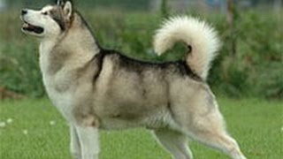 Маламут. Лучшие породы собак.
