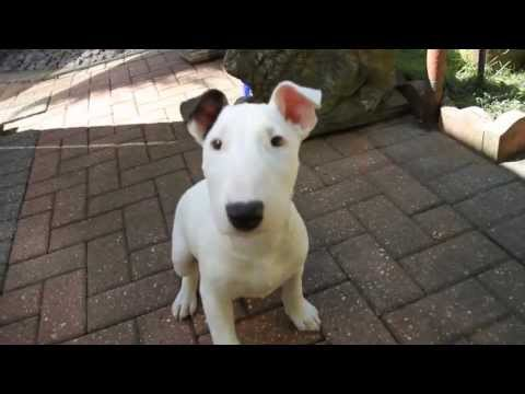 English Bull Terrier Puppy 12Weeks Old
