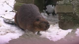 'Scientific pioneer': Beaver genetics a gift for Canada's 150 thumbnail