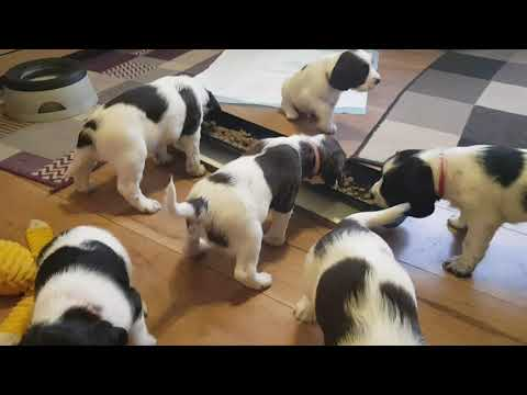 Wixys 4.5 Week Old English Springer Spaniels Puppy Puppies Puppys ESS