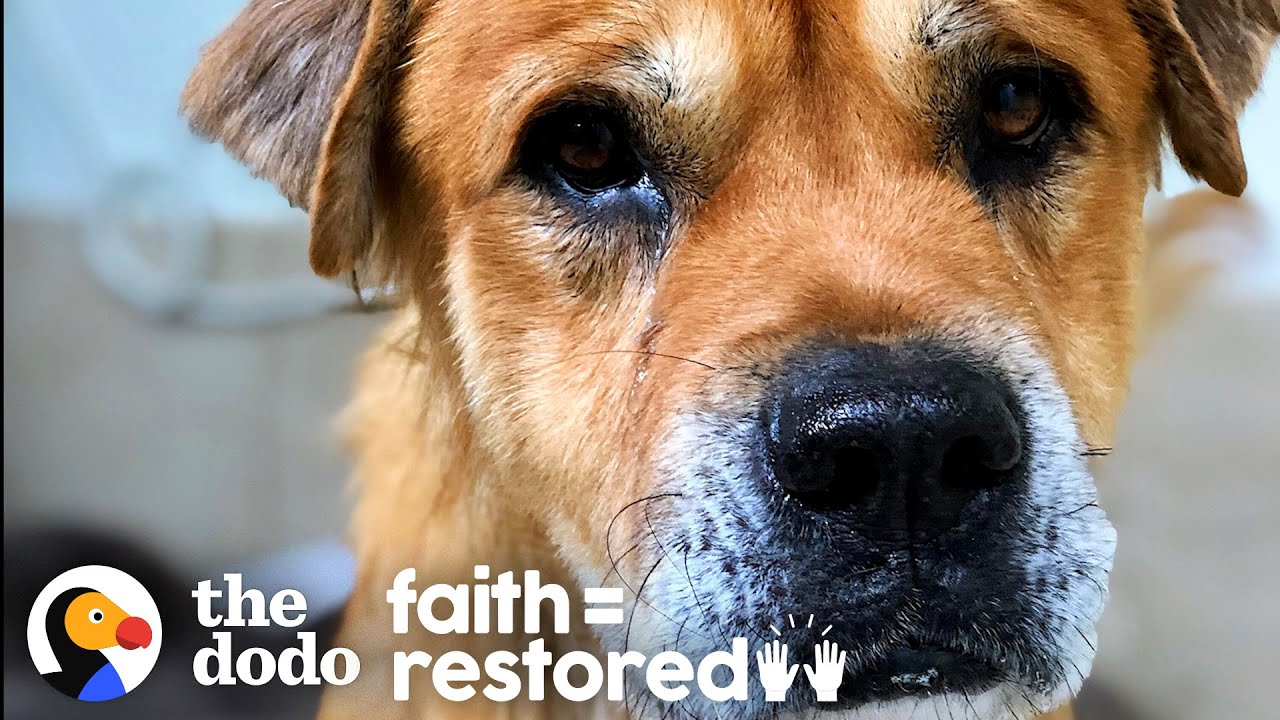 Sick Senior Dog Becomes The Fluffiest, Happiest Puppy | The Dodo Faith = Restored