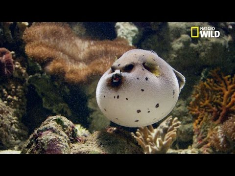 Le dangereux poisson-globe, boule de poison mortel !