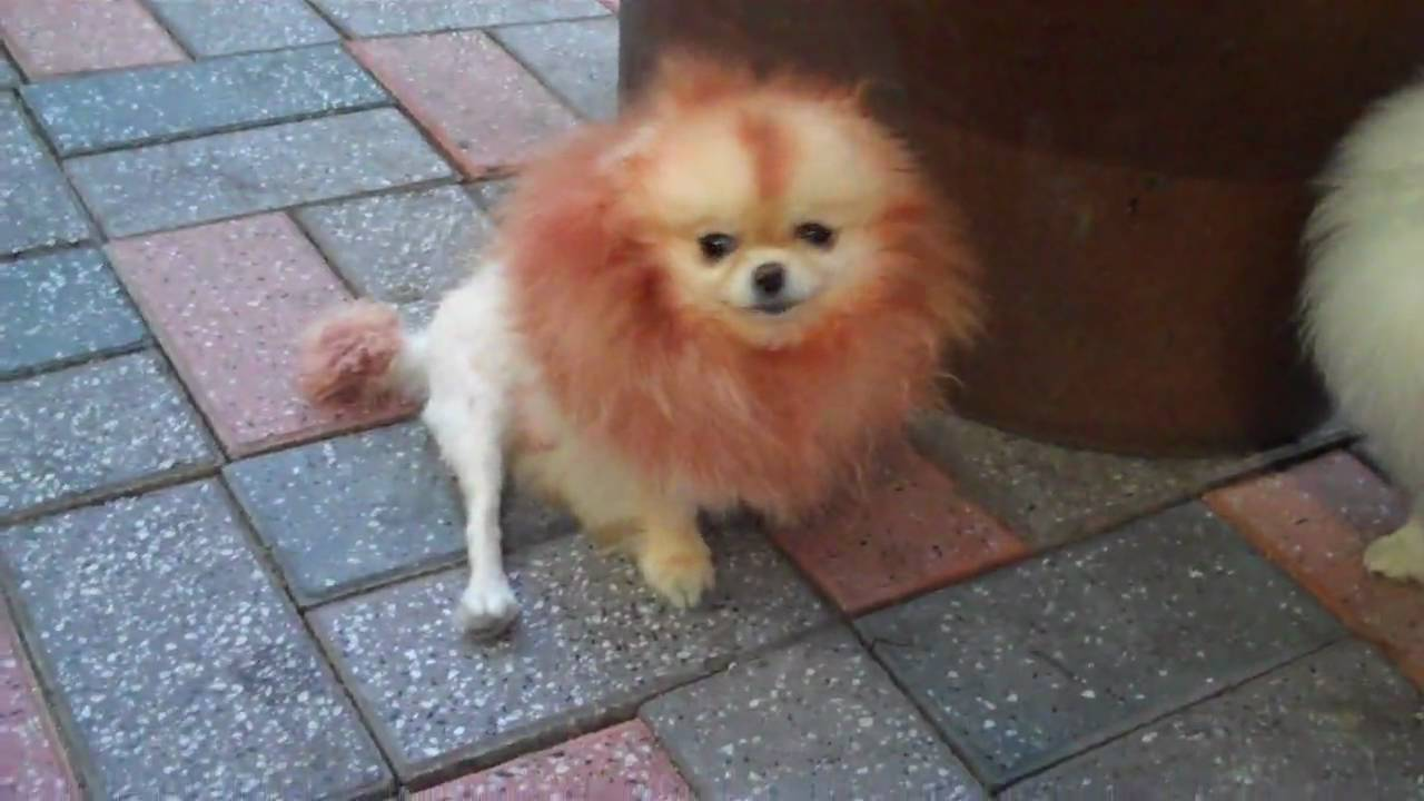 little lion dog in korea - YouTube