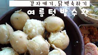 [시골일상] 감자 캐기. 마늘 캐기.  양파 수확.  …