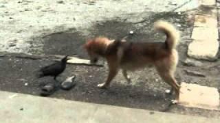 犬と弱って保護されたカラスの愛情物語です。 小さな石を遊び道具として...