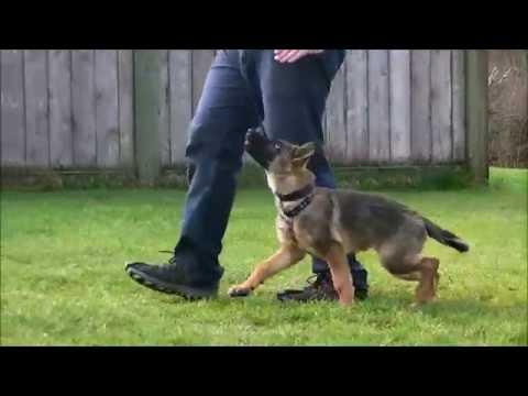 puppy-schutzund-/-ipo-obedience-training