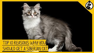 Top 10 Reasons Why You Should Get a Siberian Cat
