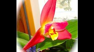 Пересадка Орхидеи Angulacoster + Орхидея расцвела(This video is about Пересадка Орхидеи Angulacoster + Орхидея расцвела http://youtu.be/ot3BLvR-RPw В этом видео я пересаживаю мою новую..., 2015-02-03T10:37:46.000Z)