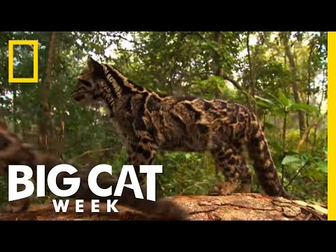 How To Be Wild | Big Cat Week