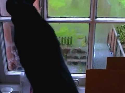 Black cat Sybil cleans windows