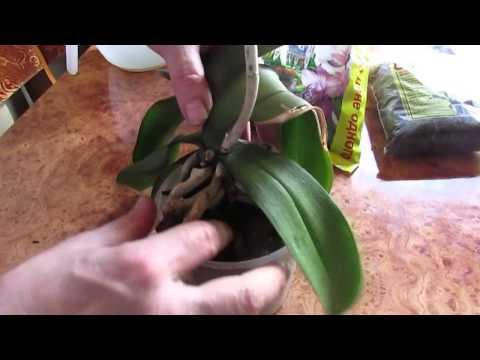 Орхидея: уход в домашних условиях, полив орхидей