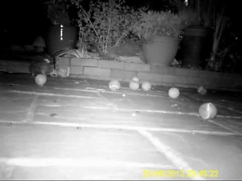 hedgehog playing football then knocks over camera.