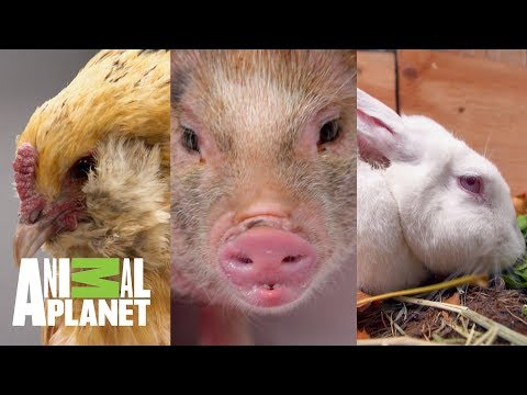 Dr. Jeff Trata A Animales De Rancho | Dr. Jeff, Veterinario | Animal Planet