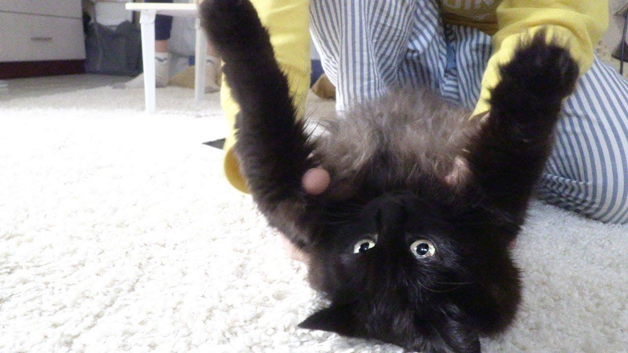 【しゃべる猫】猫をひっくり返して肩甲骨マッサージしてみた【しおちゃん】