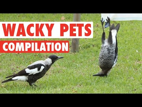 Hilarious Wacky Pets Animal Video Compilation 2016