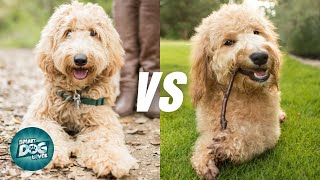Labradoodle VS Goldendoodle  10 Differences | Which Poodle Mix Breeds Is Better?