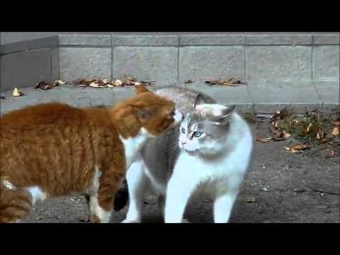 【デブ猫編】茶トラ白VSデブ猫の近距離猫喧嘩
