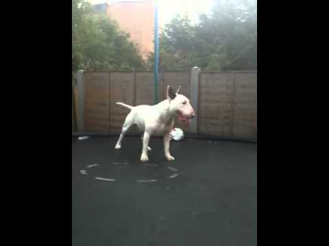 Bouncing english bull terrier