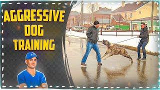 Aggressive Dog Training. Central Asian Shepherd Dog (alabai)