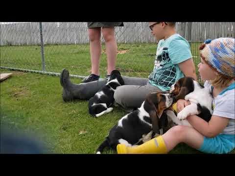 Basset Hound Puppy Socialization with animals