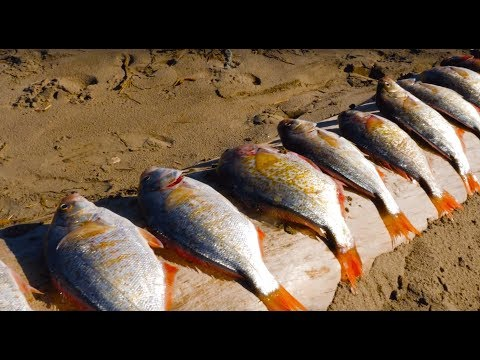 Surf Perch Beach Fishing & Razor Clam DIGGING! | Addicted Life Ep. #30