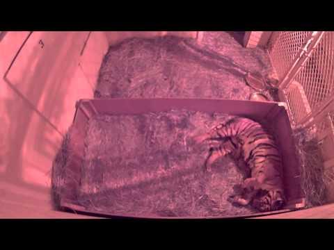 Tiger cubs born at Fresno Chaffee Zoo