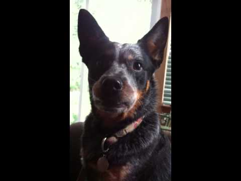 Howling and Shrieking - Cattle Dog Style!!
