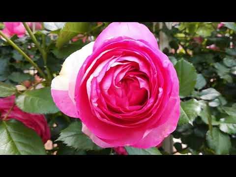 Rose 福山 the
