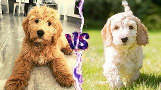 Cavapoo VS Cockapoo  Compare Two Poodle Mix Breeds