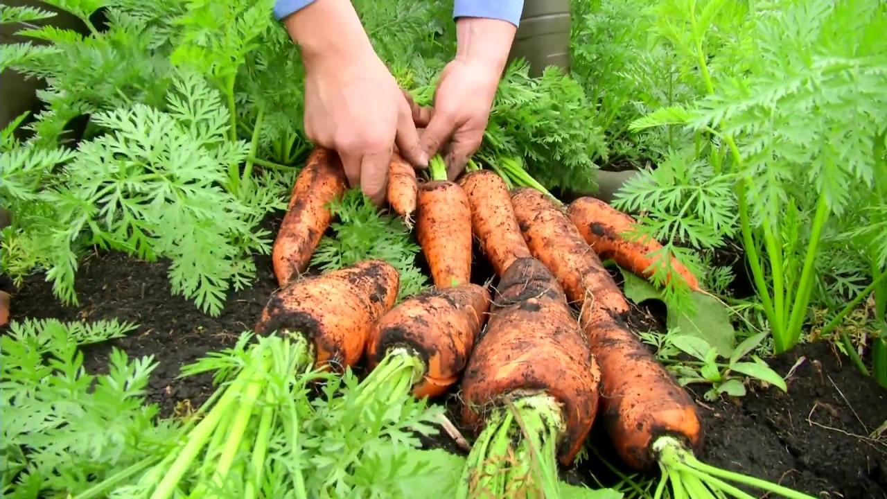 Resultado de imagen para cultivo de zanahoria en huerto