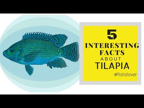 Fisholover Fact #001 - 5 Interesting Facts About Tilapia