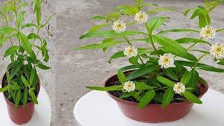 Só 1 folha dessa planta (perfuma sua casa)