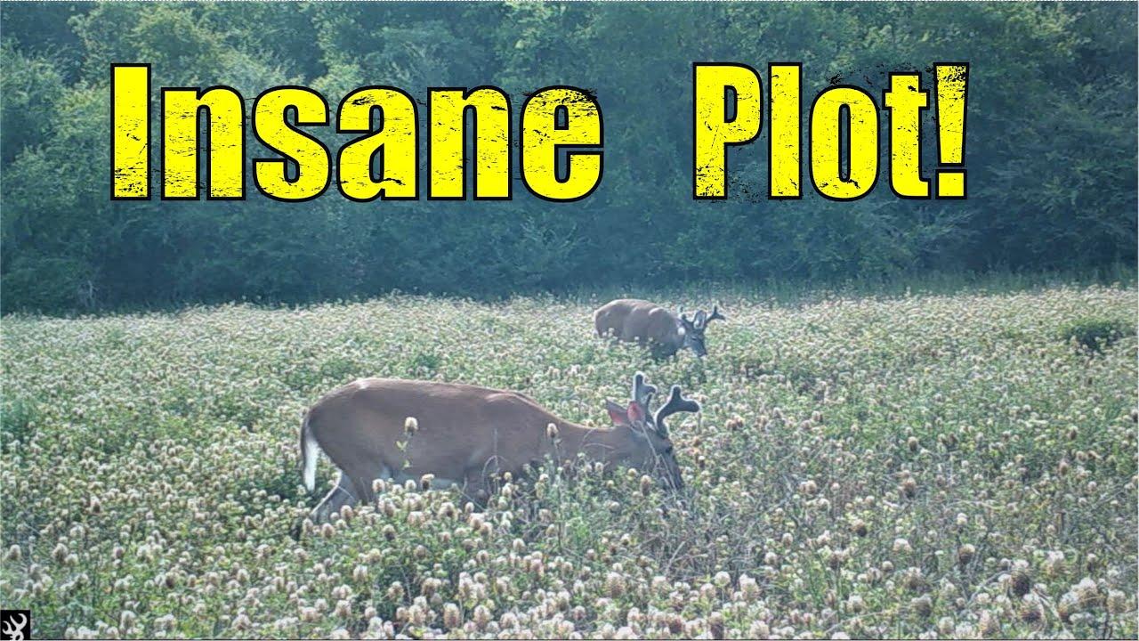 Best Food Plot for Deer!  Heads Down on Arrowleaf!