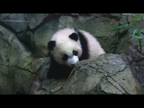 Cute Giant Panda cub Bei Bei making debut at Washington Zoo