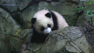 Cute Giant Panda cub Bei Bei making debut at Washington Zoo