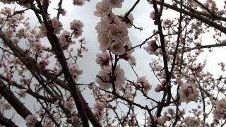 動画20160403「梅の咲き具合」@岩手県久慈市田屋町11:06頃