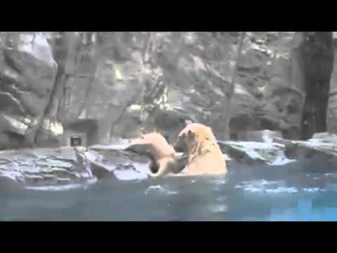 Mother bear saves baby bear from drowning