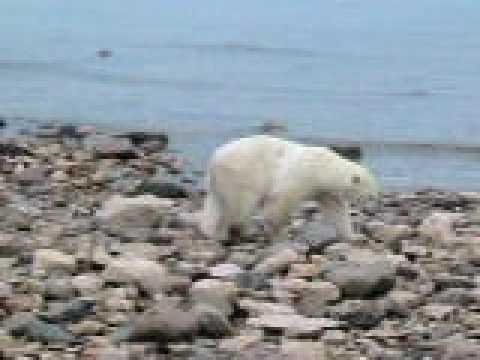 Churchill, Manitoba polar bear