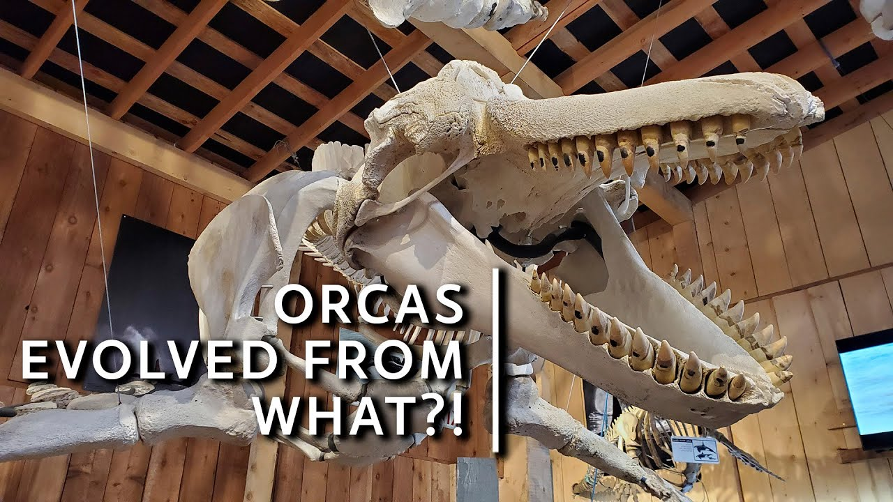 You'd never guess which species orcas evolved from