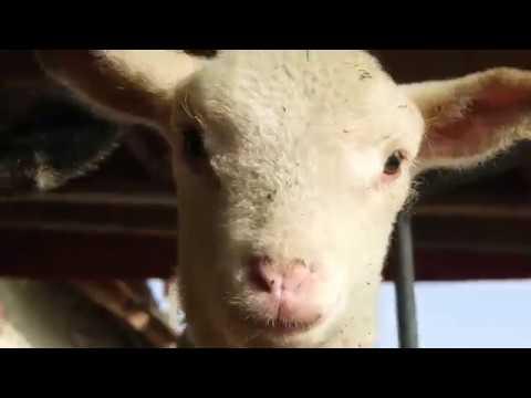Van pásztorom, de nem vagyok birka