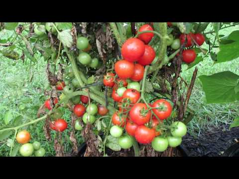 60 Seconds or Sow: All About Determinate Tomatoes /Massive Fruiting- The Rusted Garden 2013