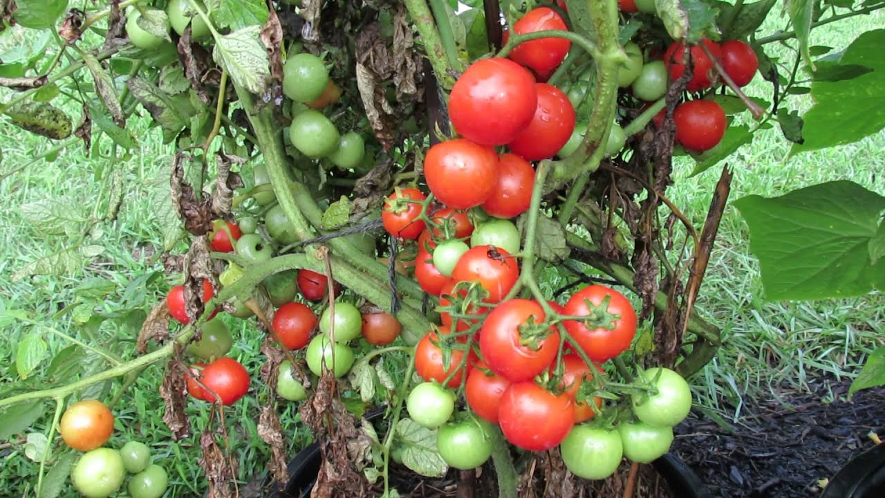 60 Seconds Or Sow All About Determinate Tomatoes Massive