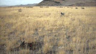 Utah Pointing Dog Training. Training A German Shorthaired Pointer Steady To Wing And Shot.